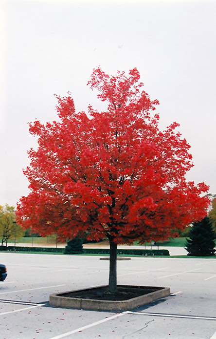 October Glory Red Maple Acer Rubrum October Glory In