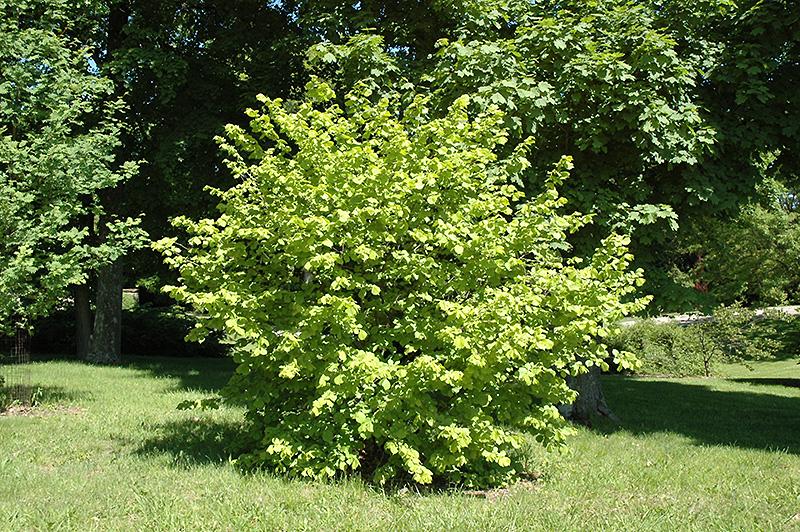 Golden Leaf Hazel Corylus Avellana 39 Aurea 39 In Pittsburgh Cecil Bridgeville Mcdonald Fayette