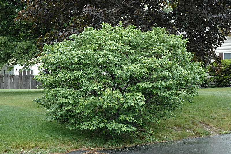 Compact Winged Burning Bush Euonymus Alatus Compactus