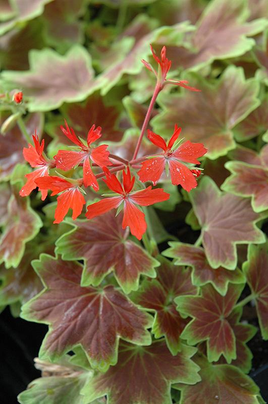 Vancouver Centennial Geranium Pelargonium Vancouver
