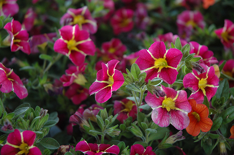 Superbells cherry star calibrachoa calibrachoa - Calibrachoa superbells ...