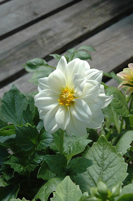 White Dahlia Plant