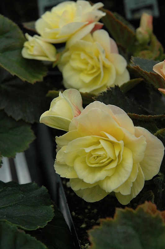 Solenia begonia light yellow dress