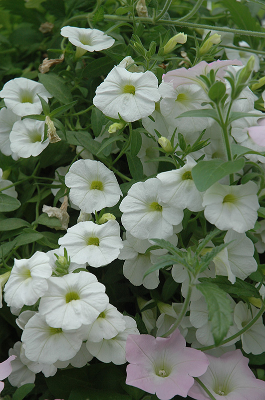 Superbells white calibrachoa calibrachoa 39 superbells - Calibrachoa superbells ...