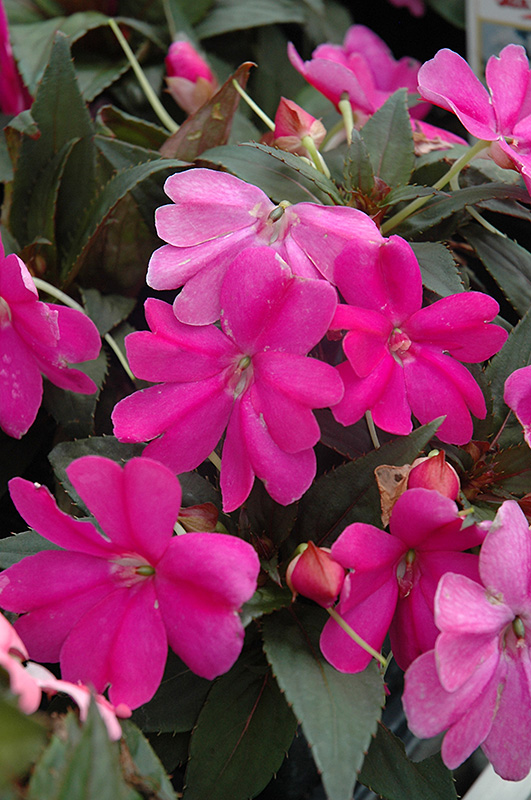 how to start a new plant from new guinea impatiens