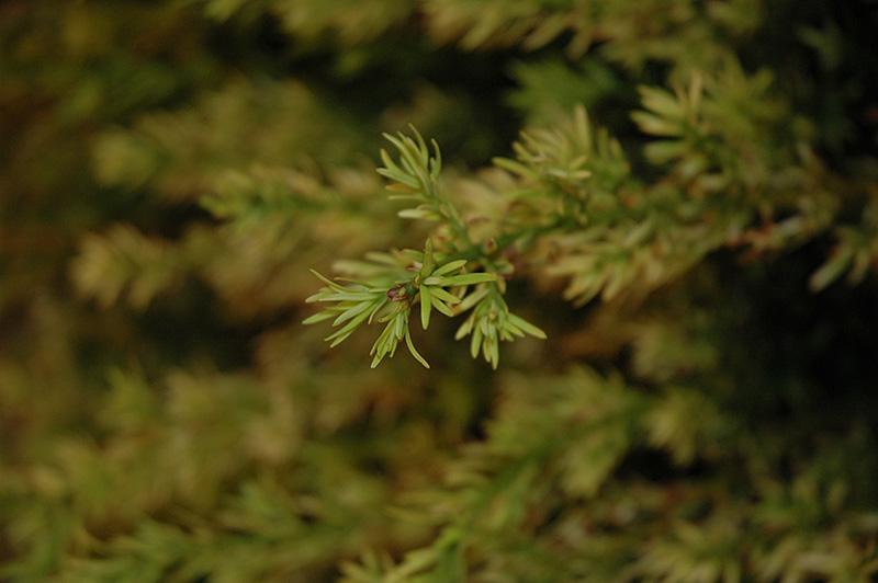 Hubers Tawny Gold Spreading Yew Taxus X Media Hubers Tawny Gold