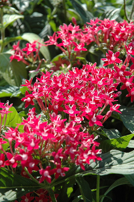 Butterfly Pink Star Flower Pentas Lanceolata Butterfly Pink In