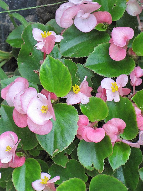 Prelude Pink Begonia Begonia Prelude Pink In
