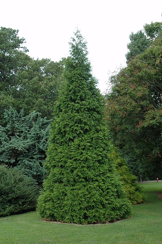 Emerald Green Arborvitae Long Island