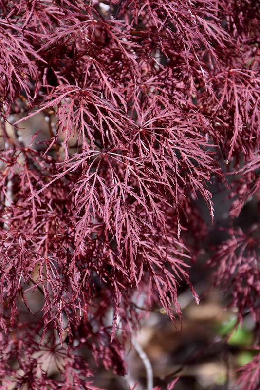 Red Filigree Lace Japanese Maple Acer Palmatum Red Filigree Lace