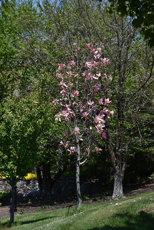 Daybreak Magnolia Magnolia Daybreak In Pittsburgh Cecil
