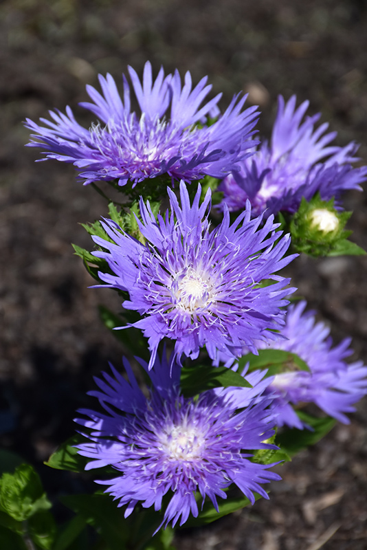 Blue Frills Aster Stokesia Laevis At Bedner S Farm Greenhouse