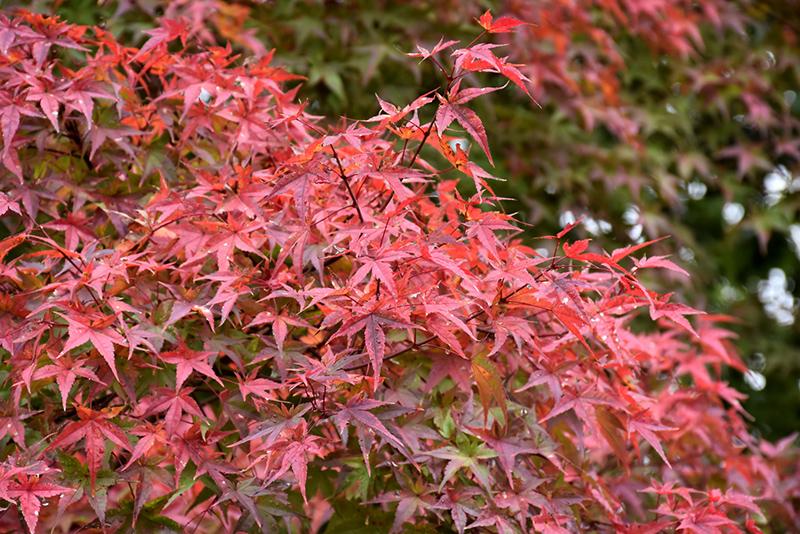 Beni Tsukasa Japanese Maple Acer Palmatum Beni Tsukasa In