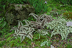 Japanese Painted Fern (Athyrium nipponicum 'Pictum') at Bedner's Farm & Greenhouse