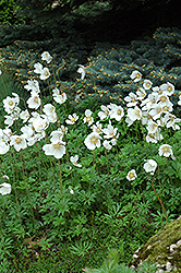 Windflower (Anemone sylvestris) at Bedner's Farm & Greenhouse