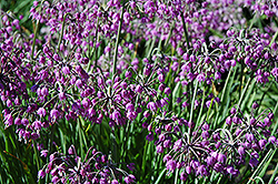 Nodding Onion (Allium cernuum) at Bedner's Farm & Greenhouse