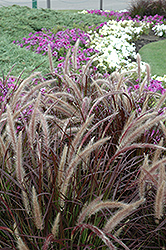 Purple Fountain Grass (Pennisetum setaceum 'Rubrum') at Bedner's Farm & Greenhouse