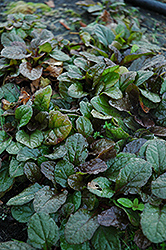 Bronze Beauty Bugleweed (Ajuga reptans 'Bronze Beauty') at Bedner's Farm & Greenhouse