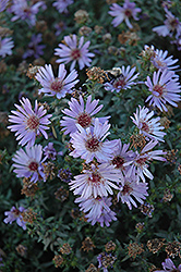Woods Blue Aster (Aster 'Woods Blue') at Bedner's Farm & Greenhouse