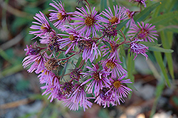New England Aster (Aster novae-angliae) at Bedner's Farm & Greenhouse
