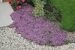 Red Creeping Thyme (Thymus praecox 'Coccineus') at Bedner's Farm & Greenhouse