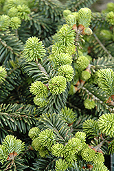 Dwarf Balsam Fir (Abies balsamea 'Nana') at Bedner's Farm & Greenhouse
