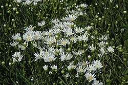 White Aster (Aster ptarmicoides) at Bedner's Farm & Greenhouse