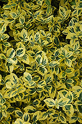 Emerald 'n' Gold Wintercreeper (Euonymus fortunei 'Emerald 'n' Gold') at Bedner's Farm & Greenhouse