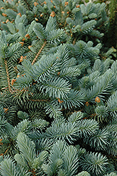 Lundeby's Dwarf Blue Spruce (Picea pungens 'Lundeby's Dwarf') at Bedner's Farm & Greenhouse