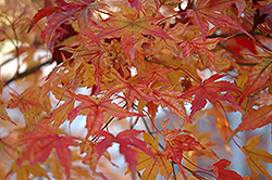 Butterfly Variegated Japanese Maple (Acer palmatum 'Butterfly') at Bedner's Farm & Greenhouse