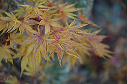 Okushimo Japanese Maple (Acer palmatum 'Okushimo') at Bedner's Farm & Greenhouse