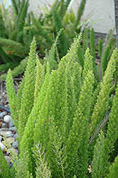 Foxtail Fern (Asparagus meyeri) at Bedner's Farm & Greenhouse