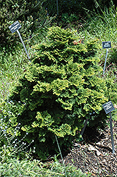 Tempelhof Falsecypress (Chamaecyparis obtusa 'Tempelhof') at Bedner's Farm & Greenhouse
