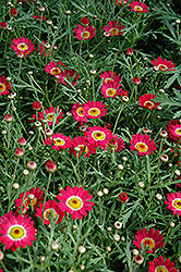 Madeira Cherry Red Marguerite Daisy (Argyranthemum frutescens 'Madeira Cherry Red') at Bedner's Farm & Greenhouse