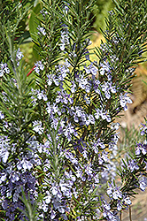 Rosemary (Rosmarinus officinalis) at Bedner's Farm & Greenhouse