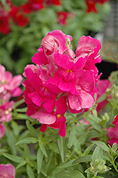 Snapshot Purple Snapdragon (Antirrhinum majus 'Snapshot Purple') at Bedner's Farm & Greenhouse
