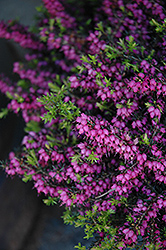 Kramer's Rote Heath (Erica carnea 'Kramer's Red') at Bedner's Farm & Greenhouse