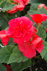 Nonstop® Rose Pink Begonia (Begonia 'Nonstop Rose Pink') at Bedner's Farm & Greenhouse