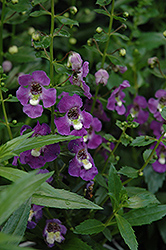 Archangel™ Purple Angelonia (Angelonia angustifolia 'Archangel Purple') at Bedner's Farm & Greenhouse