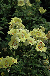 Buttery Dragon Snapdragon (Antirrhinum majus 'Buttery Dragon') at Bedner's Farm & Greenhouse