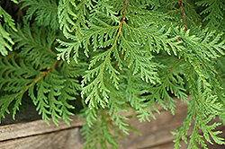 Soft Serve® Falsecypress (Chamaecyparis pisifera 'Dow Whiting') at Bedner's Farm & Greenhouse