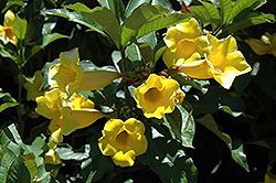 Golden Trumpet (Allamanda cathartica) at Bedner's Farm & Greenhouse
