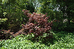 Ruby Ridge Japanese Maple (Acer palmatum 'Ruby Ridge') at Bedner's Farm & Greenhouse