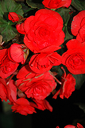 Solenia® Red Begonia (Begonia 'Solenia Red') at Bedner's Farm & Greenhouse