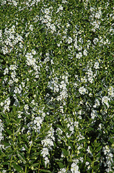 Angelface® White Angelonia (Angelonia angustifolia 'Angelface White') at Bedner's Farm & Greenhouse
