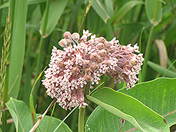 Common Milkweed (Asclepias syriaca) at Bedner's Farm & Greenhouse