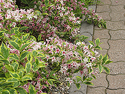 Dwarf Variegated Weigela (Weigela florida 'Nana Variegata') at Bedner's Farm & Greenhouse
