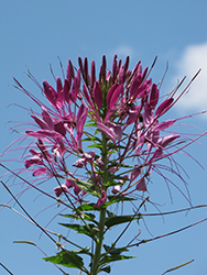 Violet Queen Spiderflower (Cleome hassleriana 'Violet Queen') at Bedner's Farm & Greenhouse