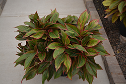 Siam Aurora Chinese Evergreen (Aglaonema 'Siam Aurora') at Bedner's Farm & Greenhouse