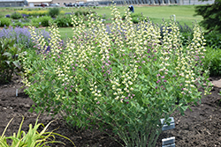 Decadence® Deluxe Pink Lemonade False Indigo (Baptisia 'Pink Lemonade') at Bedner's Farm & Greenhouse